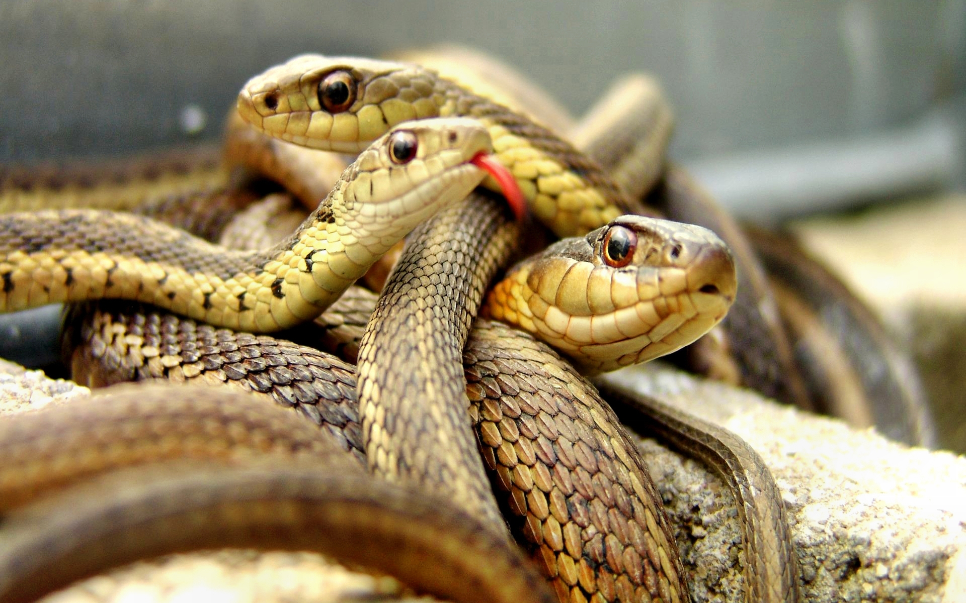Scary Snakes wallpaper 58087