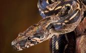 fond écran 08-serpent