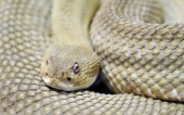 fond écran 09-serpent