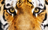 fond écran 11-tigre
