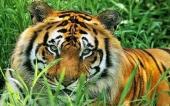 fond écran 12-tigre