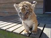 fond écran Bébé Tigre