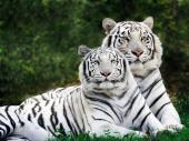 fond écran Tigre