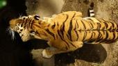 fond écran tigres