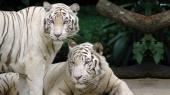 miniature tigres