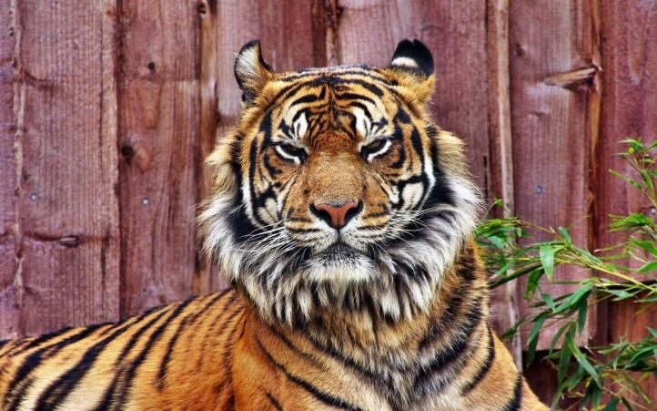 tigre fond écran wallpaper