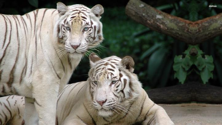 tigres fond écran wallpaper