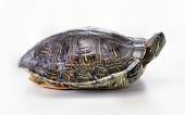 fond écran 10-tortue