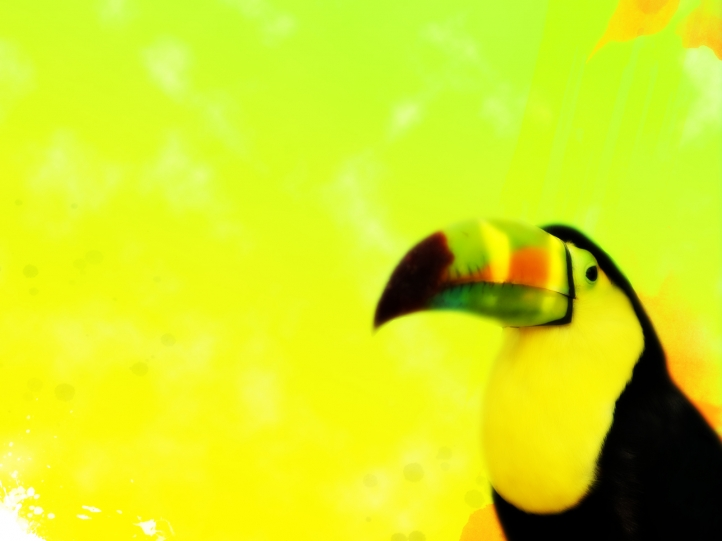 Toucan fond écran wallpaper