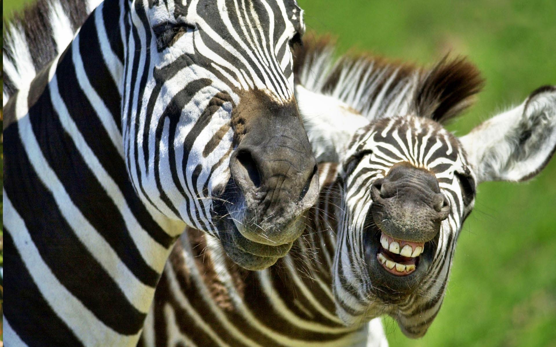 Fond d 39 cran 01 zebre en cours de vote 01 zebre for Fond d ecran zebre gratuit