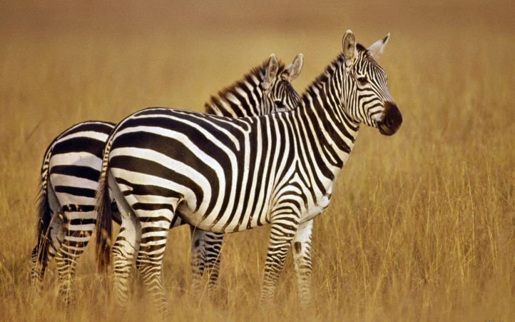 fond d'ecran gratuit zebre