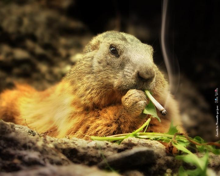Jeanette la Marmotte qui fume fond écran wallpaper