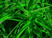 fond écran Bambou
