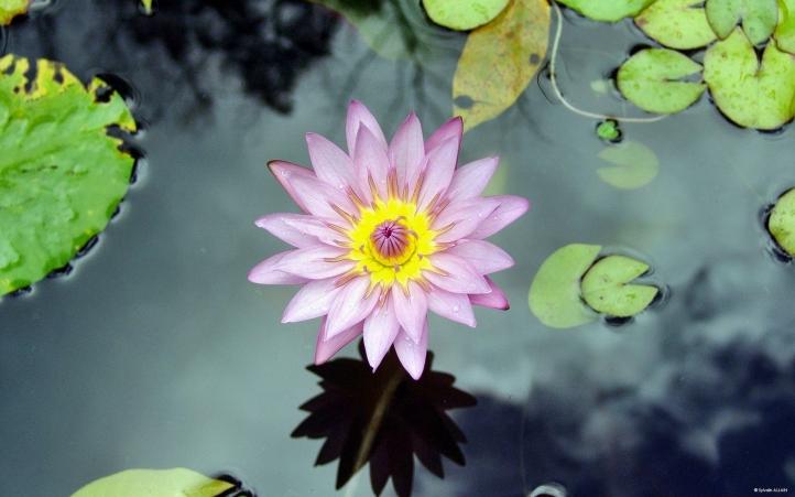 127-fleur fond écran wallpaper