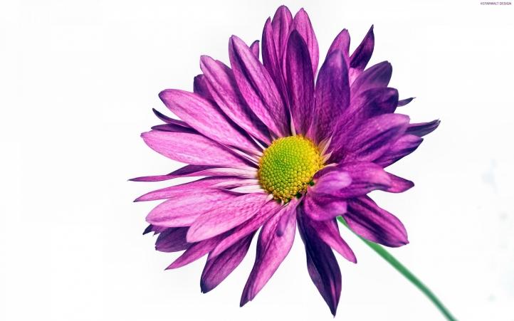 245-fleur fond écran wallpaper