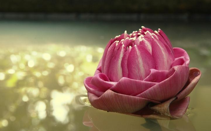 Fleur de Lotus fond écran wallpaper