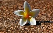 fond écran 141-fleur