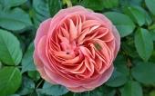 225-fleur