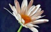 fond écran 270-fleur