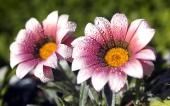 miniature 36- fleur
