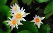 miniature 64-fleur