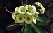 miniature 65-fleur