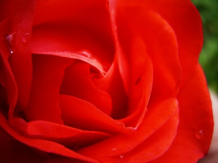 Rose  fond écran wallpaper