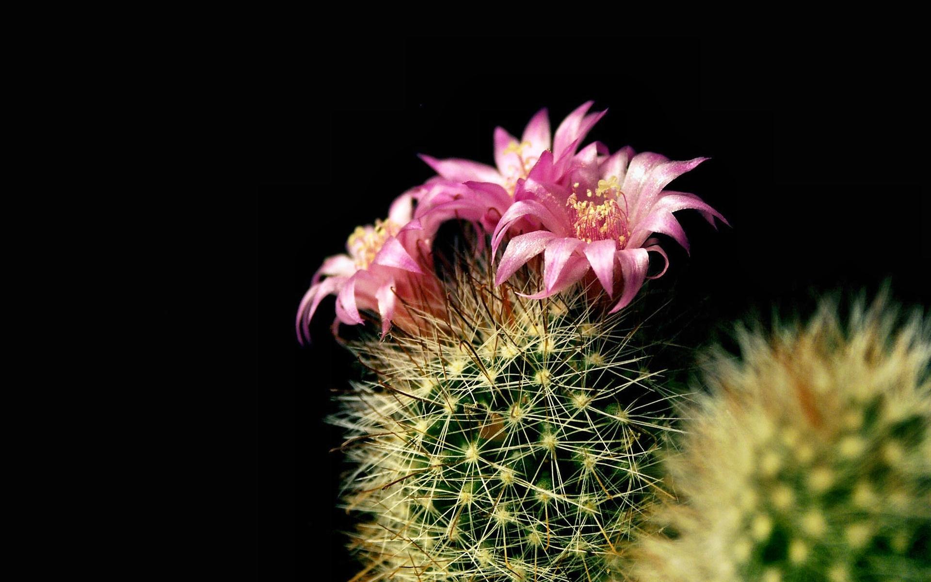 chiroyli kaktuslar